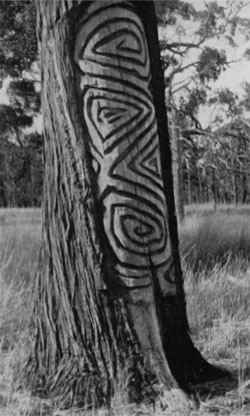 Dendroglyph on Callitris tree