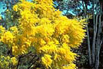 Commonly Grown Acacia - Australian Plant Information