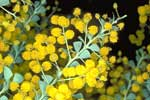 Acacia cultriformis showing globular inflorescence - Photo M. Fagg A3457