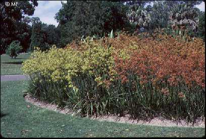 Kangaroo Paws Anigozanthos Australian Plant Information