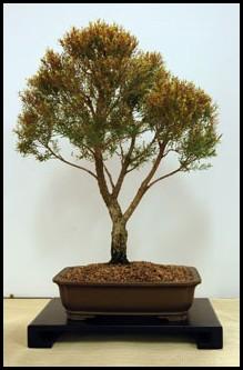 australian native plants as bonsai. Black Bedroom Furniture Sets. Home Design Ideas