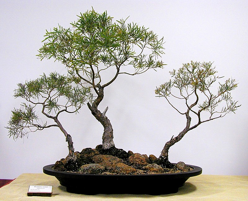 Photo Of Bonsai Click To Enlarge