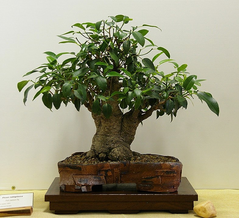 Growing Australian Native Plants: Australian Native Plants As Bonsai