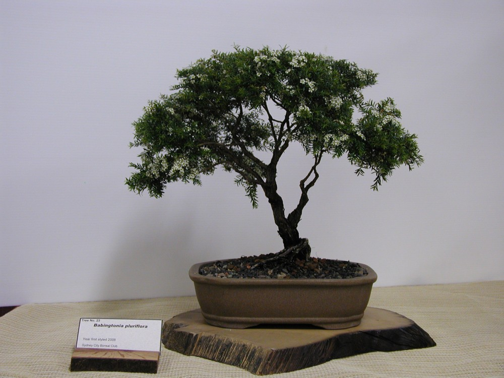 australian native plants as bonsai 2008. Black Bedroom Furniture Sets. Home Design Ideas