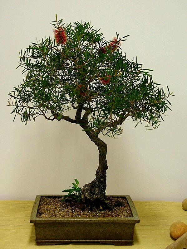 Australian Native Plants As Bonsai 2008