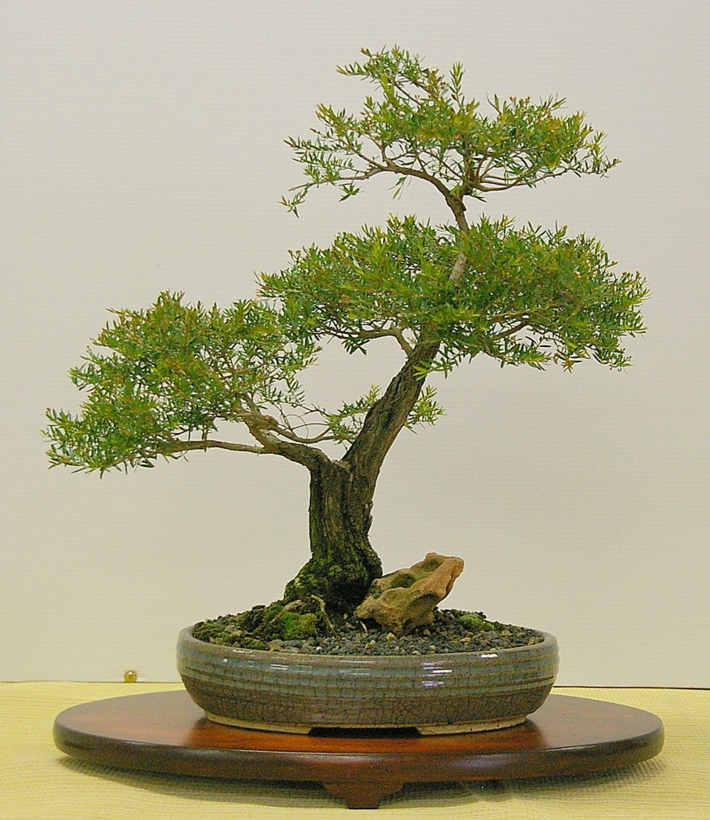 Australian Native Shade Plants: Australian Native Plants As Bonsai