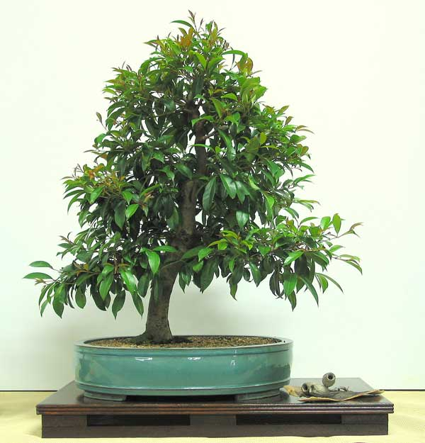 Acmena smithii - Australian Native Plants as Bonsai