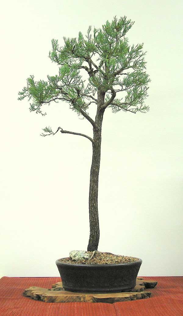 callitris glaucophylla australian native plants as bonsai. Black Bedroom Furniture Sets. Home Design Ideas