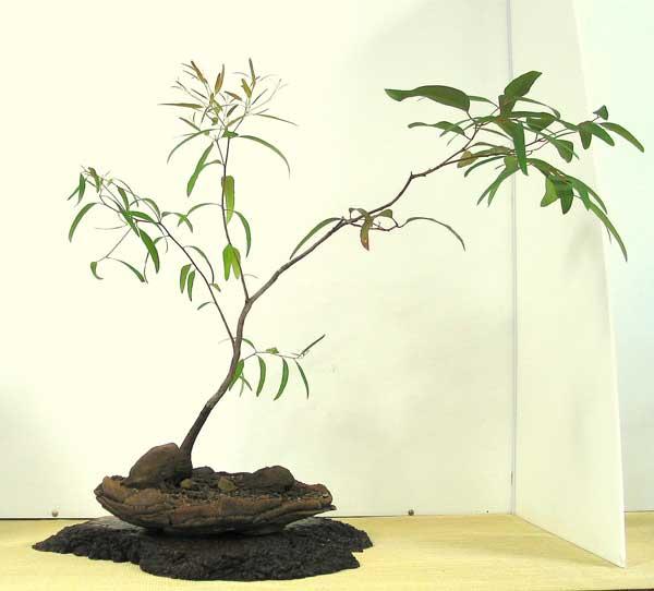 Australian Native Plants As Bonsai 2006