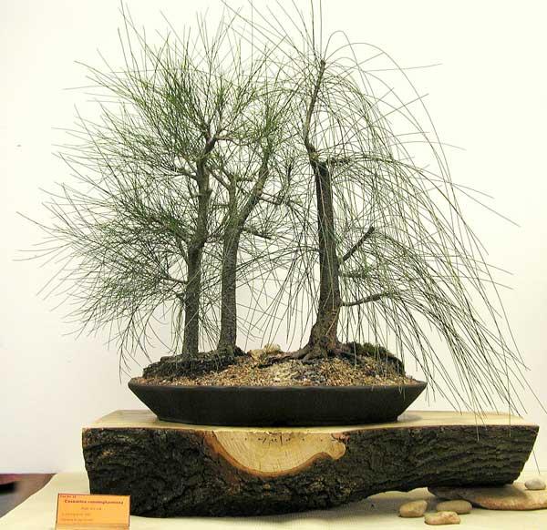 Melaleuca styphelioides - Australian Native Plants as Bonsai