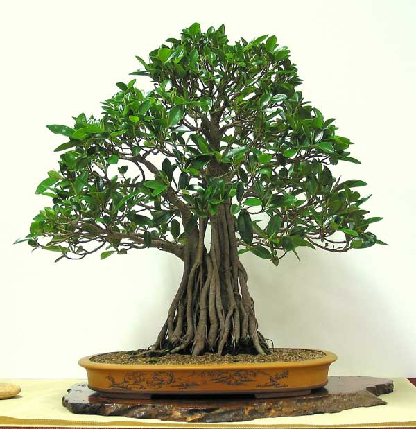 ficus rubiginosa australian native plants as bonsai. Black Bedroom Furniture Sets. Home Design Ideas