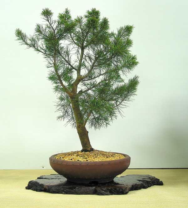 Casuarina equisetifolia - Australian Native Plants as Bonsai