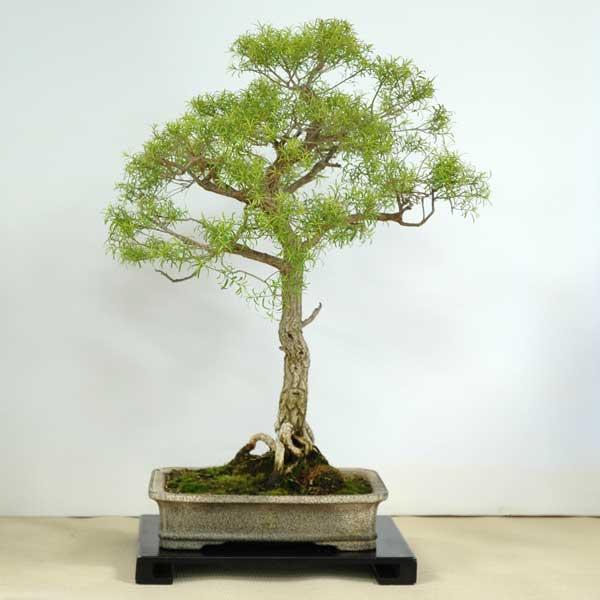 Melaleuca bracteata - Australian Native Plants as Bonsai