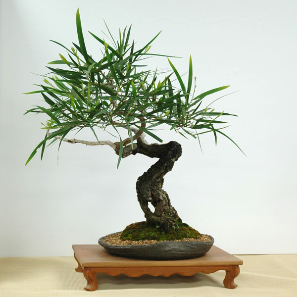Acacia longifolia - Australian Native Plants as Bonsai