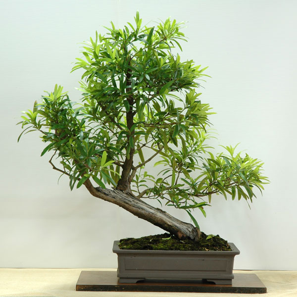 Podocarpus elatus - Australian Native Plants as Bonsai