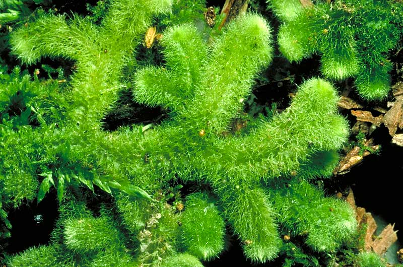 Classification And Identification Bryophyte