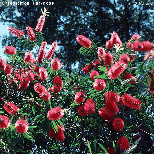 Bottlebrush Callistemon Australian Plant Information