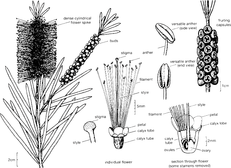 Callistemon illustration