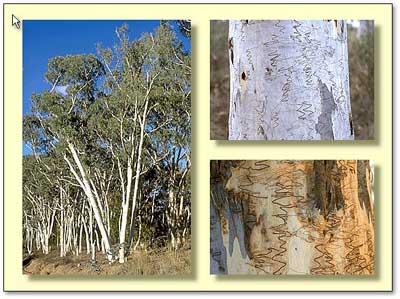 eucalyptus-polyanthemos