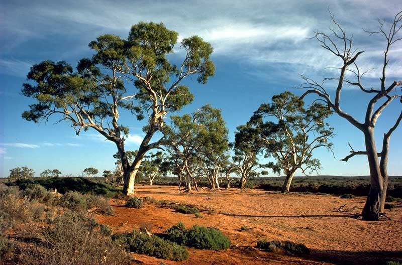 Planting Under Eucalyptus Trees : Photo d kleinig ? anbg no a