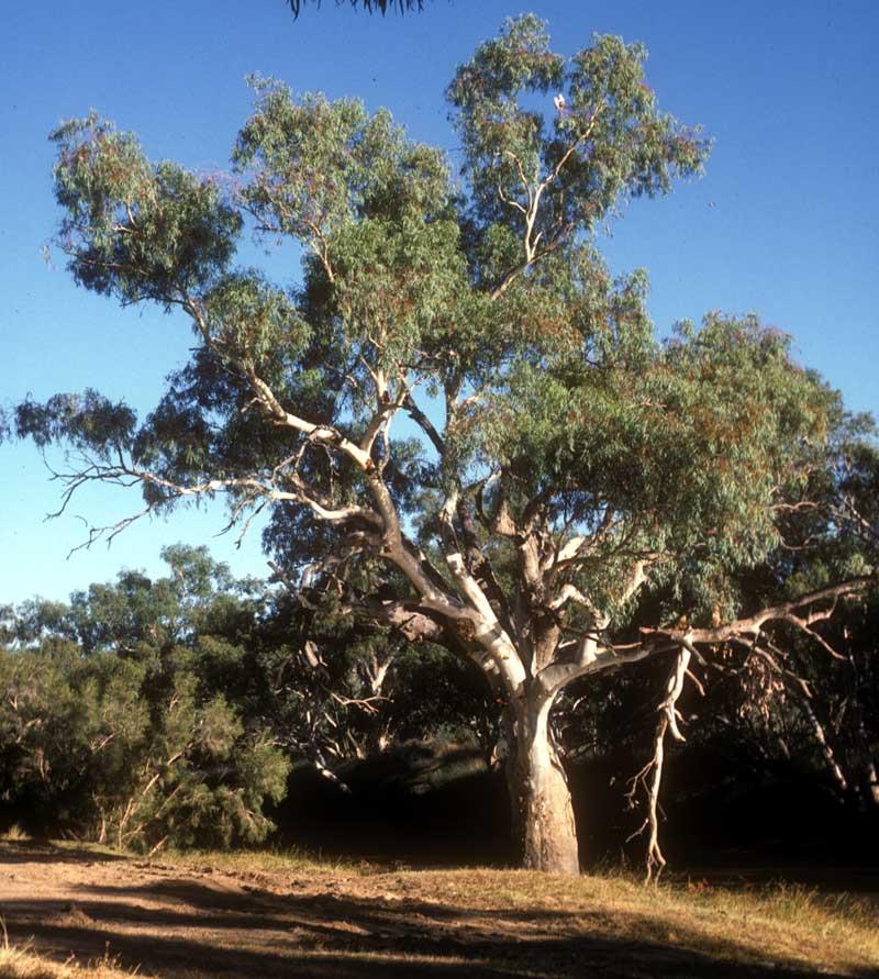 eucalyptus camaldulensis. Black Bedroom Furniture Sets. Home Design Ideas