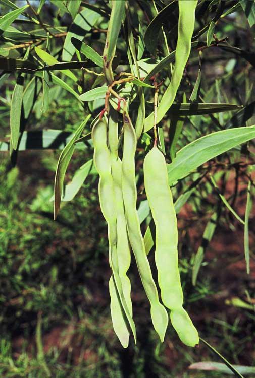 Acacia Australian National Herbarium Canbr