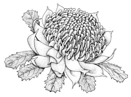 Australian Flowers Drawing Emblems Australian Plant