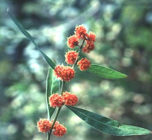 Federation Flowers For Australia Victoria Scarlet Blaze