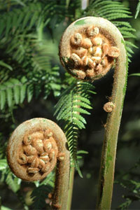 Growing ferns in cool climates