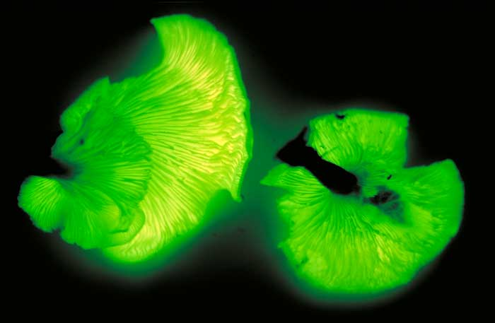 Omphalotus nidiformis at night