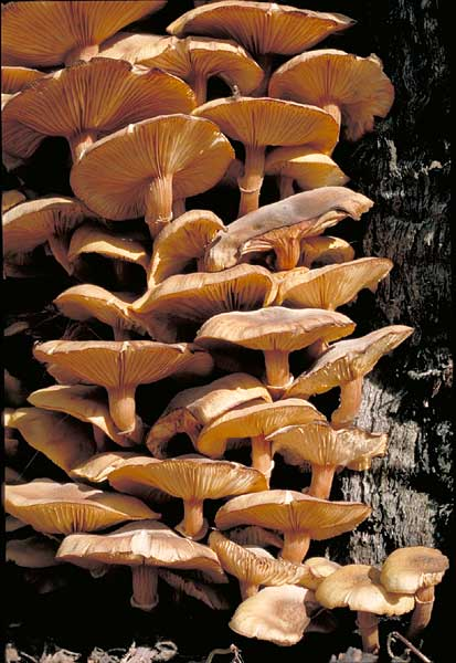 photo: Armillaria luteobubalina
