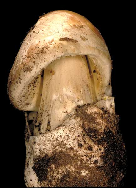 Amanita phalloides - shortly after erupting