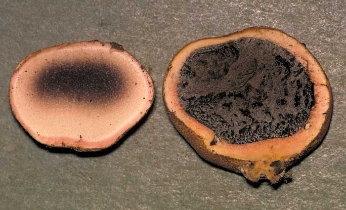 photo: Scleroderma sp.