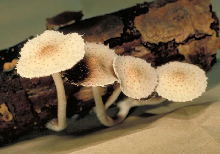photo: Psathyrella sp.
