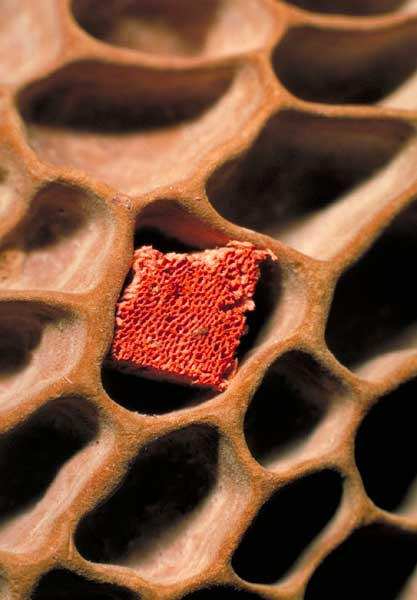 photo: Pycnoporus (red) and Hexagonia (brown) pores