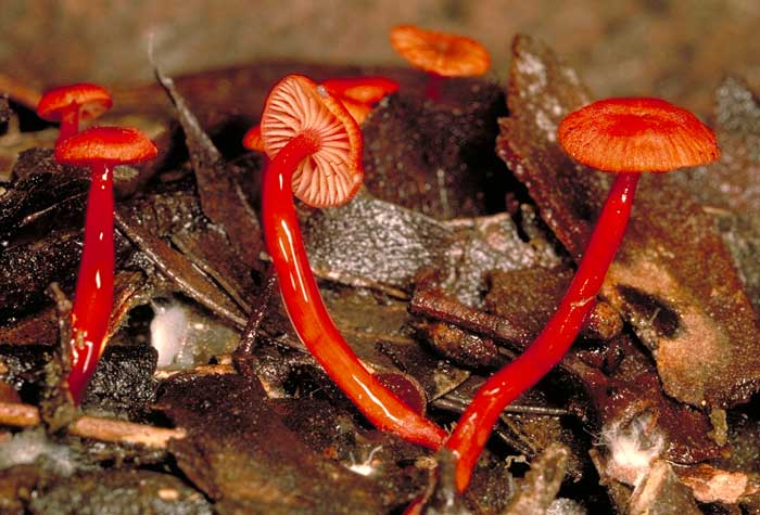 photo: Mycena viscidocruenta