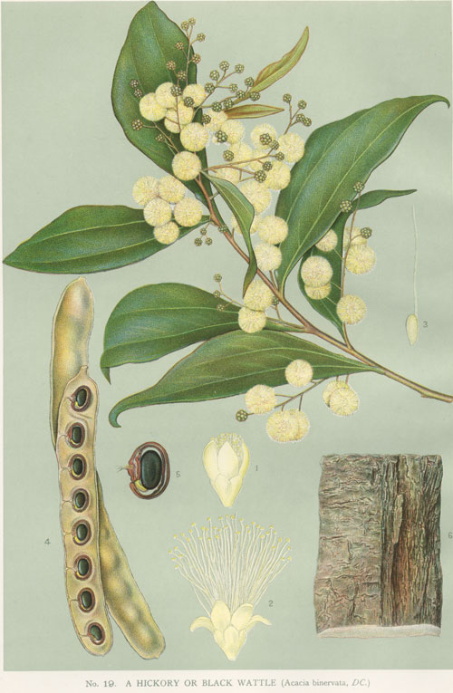 illustration: Acacia binervata