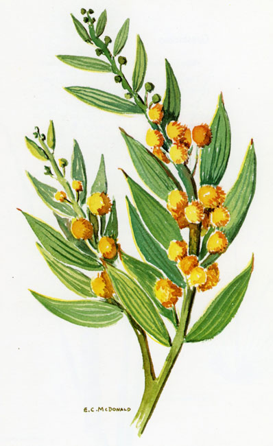 Acacia Complanata Australian Botanical Illustration