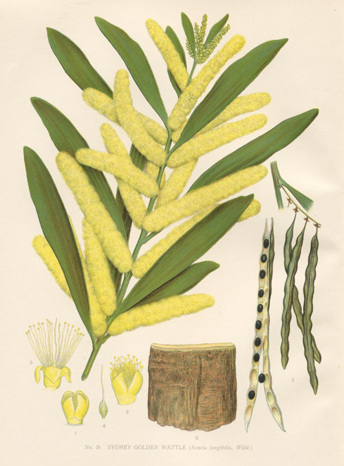 illustration: Acacia longifolia
