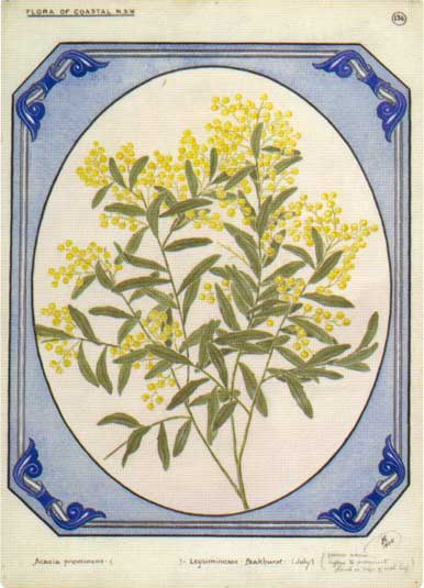 illustration: Acacia prominens
