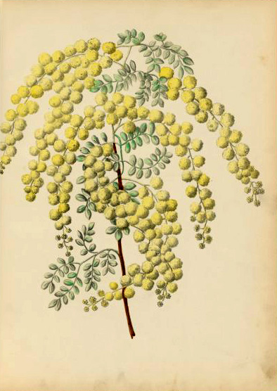 illustration: Acacia spectabilis
