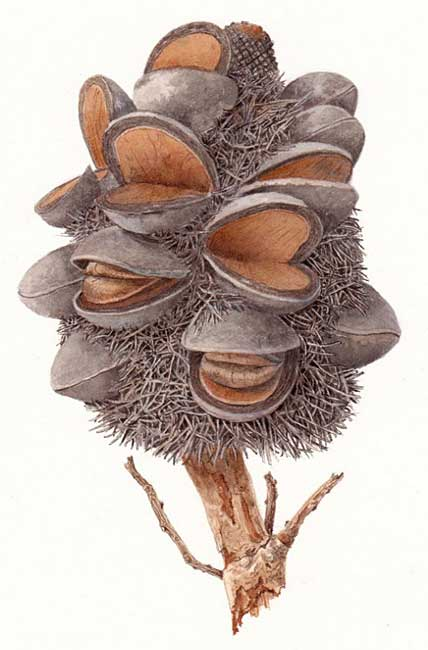 illustration: Banksia formosa