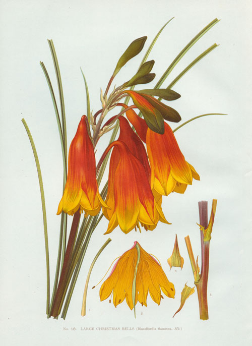 illustration: Blandfordia grandiflora