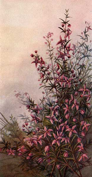 illustration: Boronia ledifolia