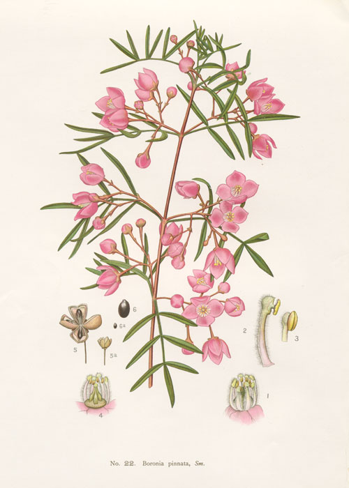 illustration: Boronia pinnata