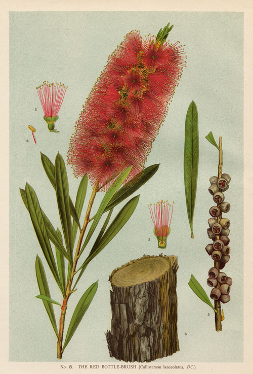 illustration: Callistemon citrinus