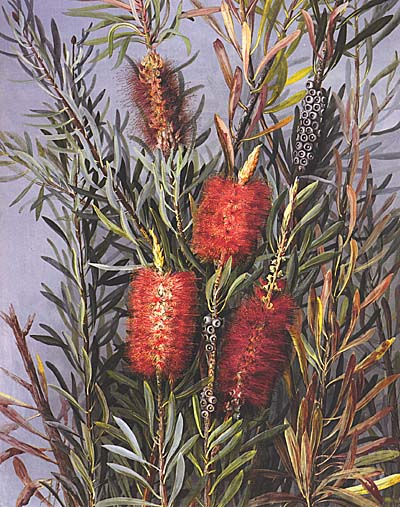 illustration: Callistemon phoeniceus