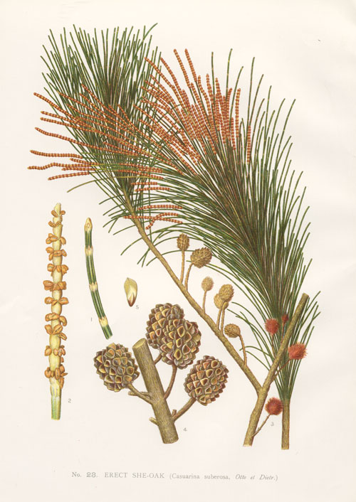 illustration: Allocasuarina littoralis