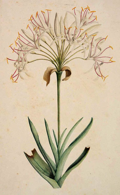 illustration: Crinum pedunculatum