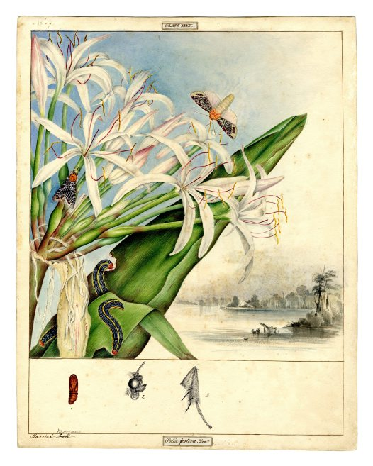 illustration: Crinum pedunculatum, with Spodoptera picta moth
